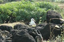nestingalbatross