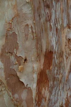 eucalyptusbark