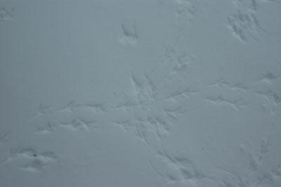 Juncofootprints
