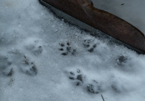 squirrel footprints