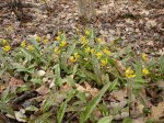 This happy little patch of Trout Lilies is in the woods at the end of out driveway.