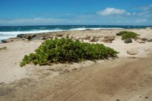Naupaka growing on the dunes