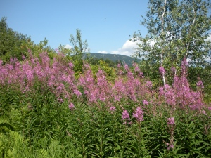 Fireweed and Mt Okemo