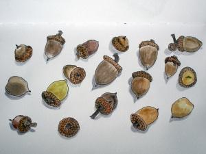 18 acorns