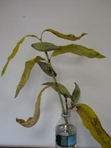 milkweed subjet
