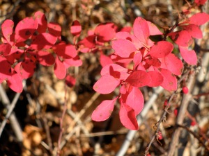 barberry color
