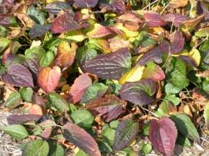 Fall Rudbekia foliage