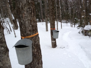 "our ""sugar bush"""