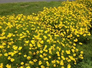 Moon Beam Coreopsis