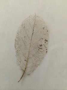 magnolia leaf skeleton
